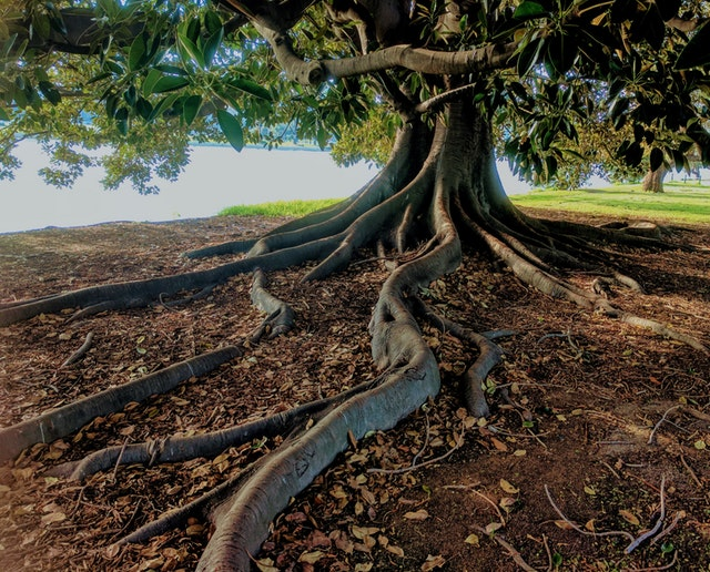 Large tree with spreading roots, Melbourne, Florida interior designer